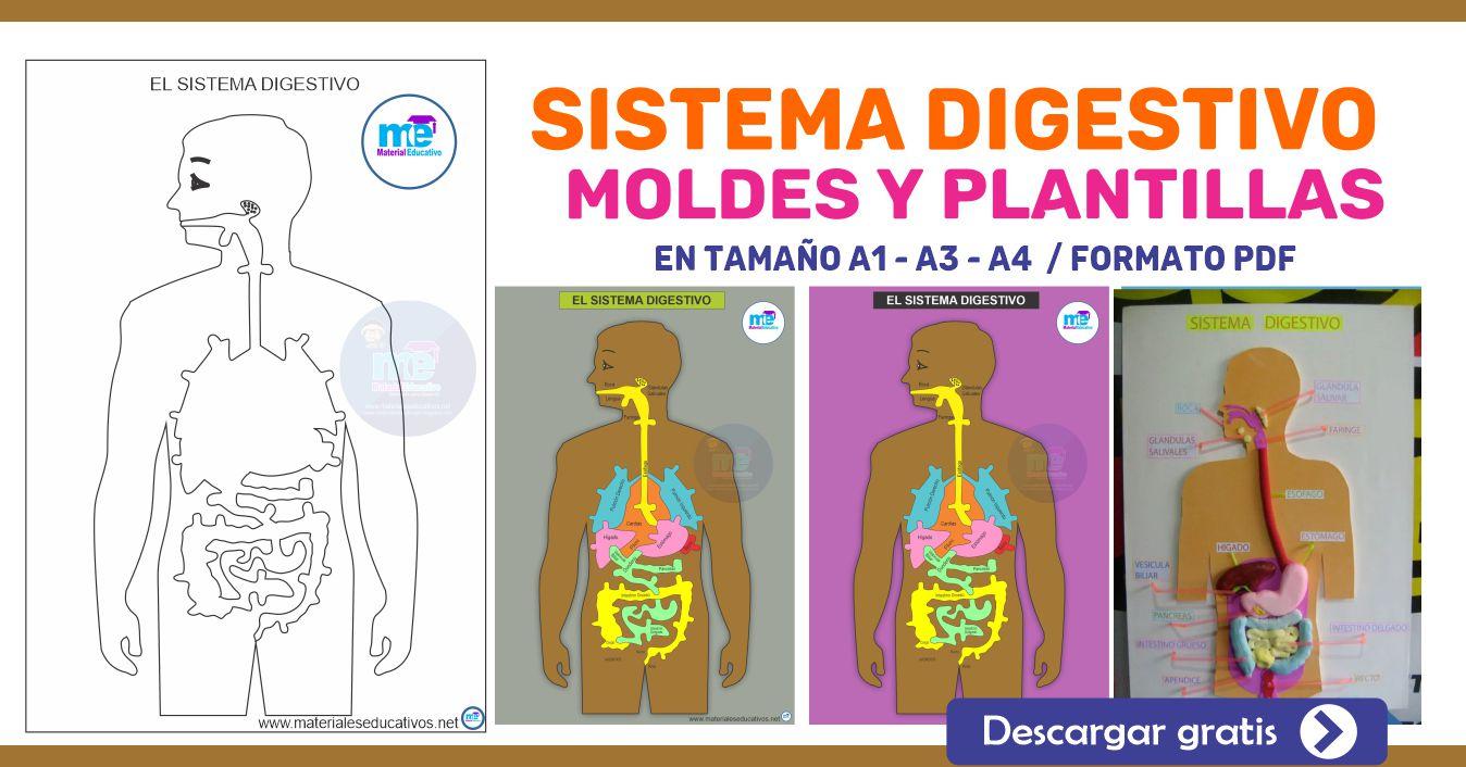 SISTEMA DIGESTIVO MOLDES Y PLANTILLAS
